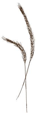 Waldstaudenroggen alte Getreidesorte